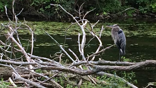 Great blue heron at rest on canal