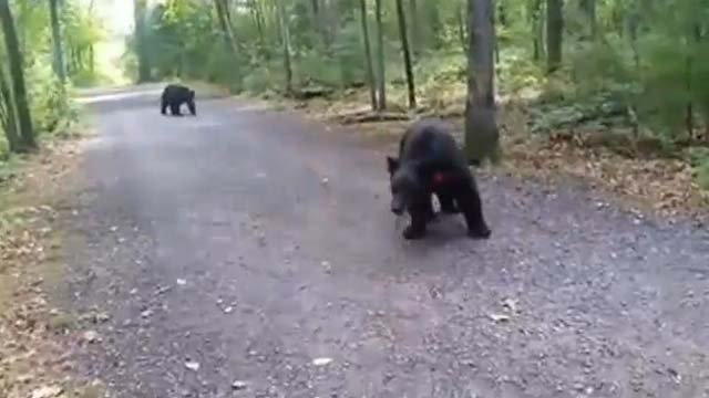 Two bears that a hiker encountered in Burlington last week have been euthanized. (Stephanie Rivkin)