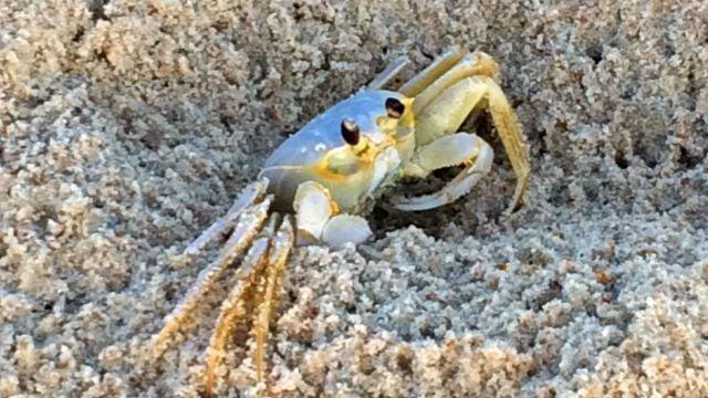 Ghost Crab on Hatteras Island beach