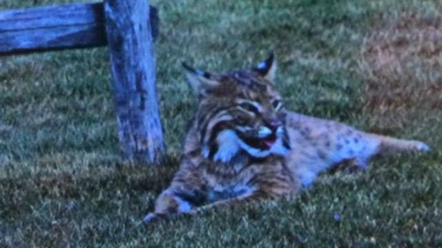 A bobcat, not the one pictured, was spotted in Woodbridge. (WFSB File Photo)