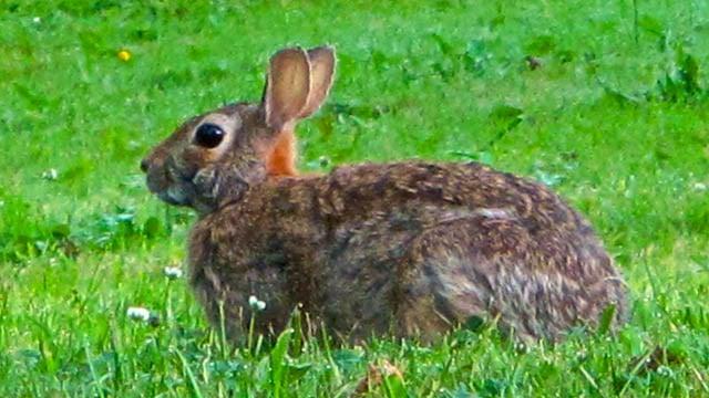 A cottontail rabbit. (AP photo)