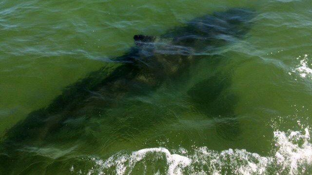 The Atlantic White Shark Conservancy said this 15-16 foot shark was spotted near the Nauset Inlet. (Atlantic White Shark Conservancy photo)