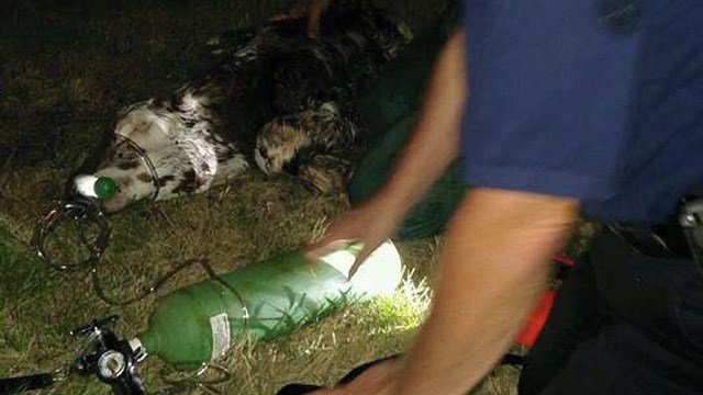 A newborn calf receives oxygen with the help of fire officials. (South Windsor Fire Dept. photo)