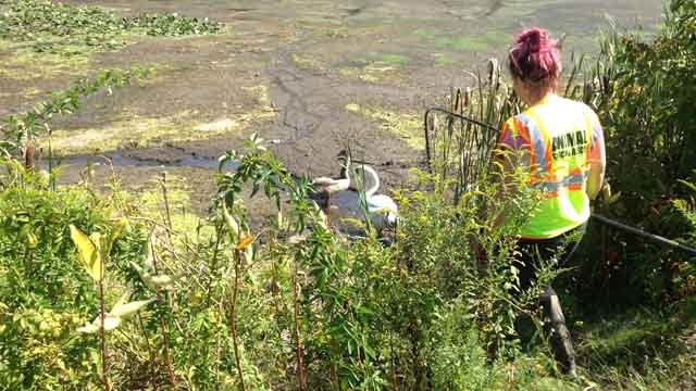 A family of swans was relocated after a pond was drained in Meriden. (WFSB photo)