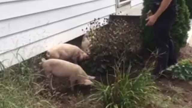Pigs were spotted in East Windsor. (East Windsor Police Department Facebook)