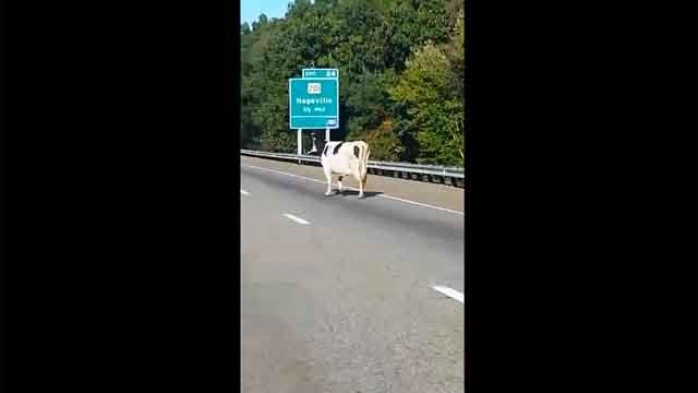 A cow dodged cars during rush hour on I-395 in Griswold on Tuesday (Kristy Tardiff/Facebook)