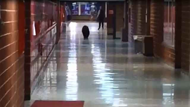 A bear was spotted walking through a Montana high school on Thursday morning. (CBS)
