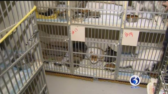 Cats seized from Wolcott home are not ready for adoption. (WFSB)