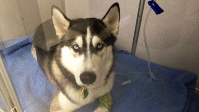 Max the Husky is recovering after being involved in a hit-and-run crash. (WFSB)