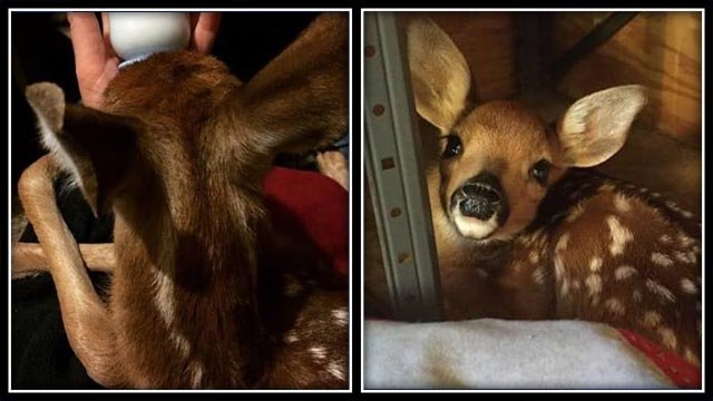 CT state trooper caring for 2 young deer (CT State Police)