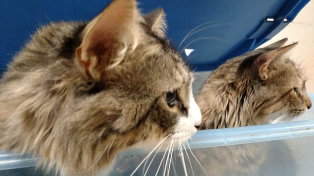 Dozens of cats rescued by Meriden Humane Society (Meriden Humane Society)