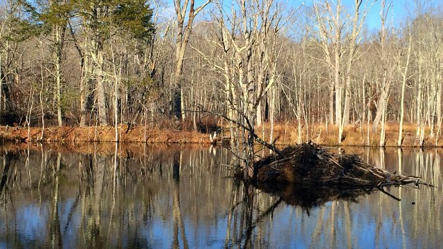 Beaver dam at Wood Duck Pond