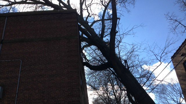 A tree against an apartment on Niles Street has caused 15 people to be evacuated. (WFSB)