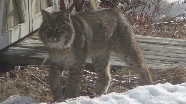 Shannon Mazurick of Avon said she spotted two bobcats in her yard on Thursday. (iWitness photo)