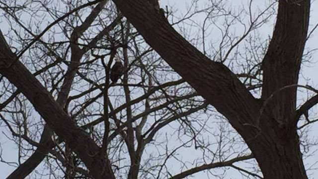 A Bald Eagle was spotted at West River Memorial Park in New Haven. (WFSB)