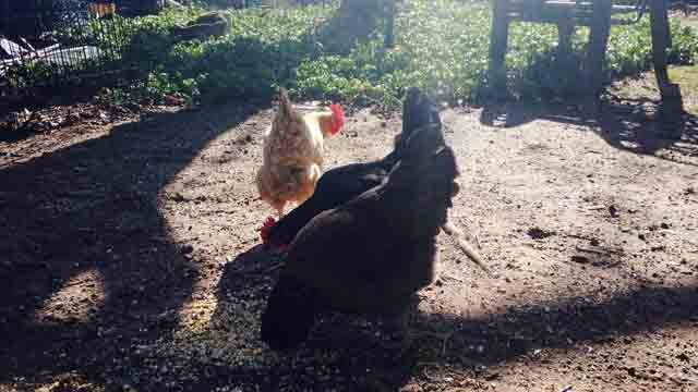 Manchester Community College is offering a course on how to raise chickens in your backyard (WFSB)