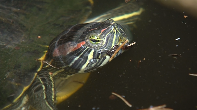 Three pet turtles were dumped in a pond at the Ansonia Nature Center (WFSB)